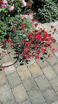 Geum MRS B BRADSHAW herbaceous perennial 3 plants in 10.5cm pots /4