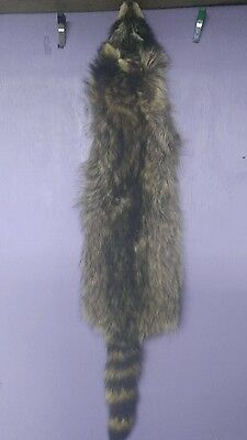 1 Tanned raccoon Fur Pelt real animal skin taxidermy rug piece man cave , used for sale  Webster