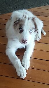 Wanting to buy a choc and White or tan Merle border collie Trinity Beach Cairns City Preview