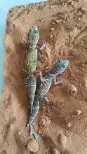 Pair barking geckos Adelaide CBD Adelaide City Preview
