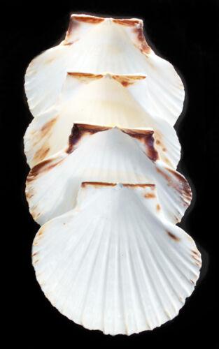 "4 Real Irish Baking Scallop Shells (3.5-4"") Restaurant Quality Beach Dining"