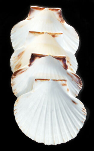 "4 Real XL Irish Baking Scallop Shells (4-4.5"") Restaurant Quality Beach Dining"