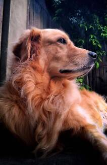 Wanted: Looking for a dog friendly person to feed and walk Goldie