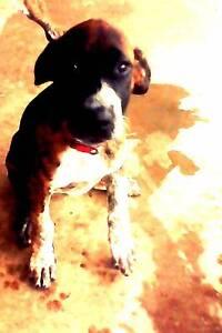 Bull Arab/Boxer pup for sale Gracemere Rockhampton City Preview
