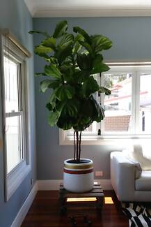 Large Potted Fiddle Leaf Fig Plant