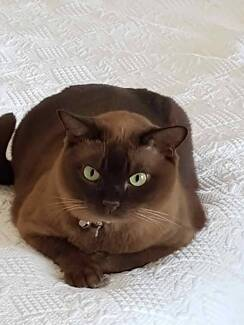 Lost Brown Burmese Cat