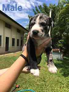 Pups for sale Black River Townsville Surrounds Preview