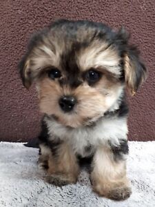 Little teddy cute Morkie for a pet home
