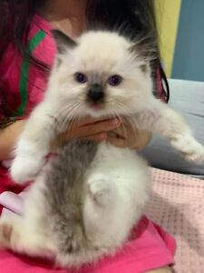 very cute ragdoll kitten looking for their new home