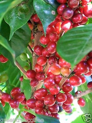 5 lbs Organic Papua New Guinea Green Coffee Beans, Selling only Grade 1 -