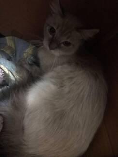 1 yr rag doll cat