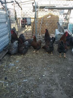 12+ BLUE  LACED RED WYANDOTTE HATCHING EGGS
