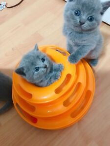 Super melting and sticky British Shorthair and Scottish fold