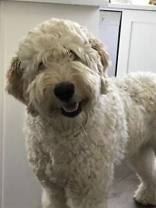 Adorable 1-year old labradoodle