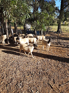 Dorper  ewes Dallarnil North Burnett Area Preview