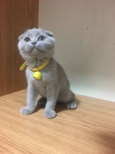 2 purebred Scottish Shorthair Girls Ready to Go Your Cozy Home