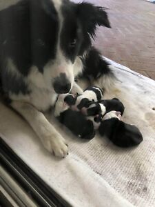 Border Collie Puppy Looking for lovely home