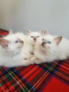 Ragdoll kittens ( 3 boys 2 girls )