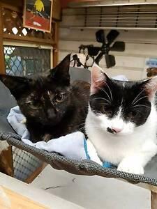 RESCUE CAT - Cat Rescue Port Stephens - Patch Salamander Bay Port Stephens Area Preview