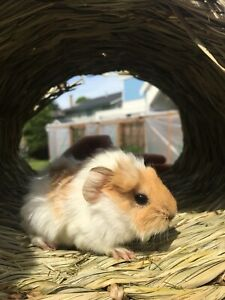 Little baby guinea pig rehoming