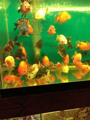 Live Ranchu A Goldfish for fish tank, koi pond or aquarium 3.5-4 INCH hand picK