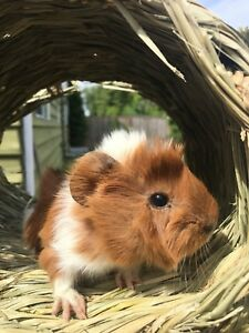 Little guiea  pig looking for new family