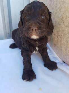 Groodle puppies for sale