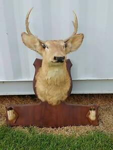 Taxidermy White Tail Deer Head Cessnock Cessnock Area Preview