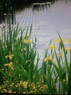 water iris yellow