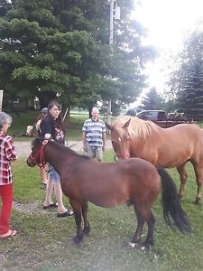 Nice gelding pony and 2 saddles and tack
