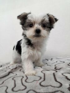 Morkie puppies for pet homes nice markings