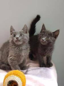 British Blue x Russian Kittens