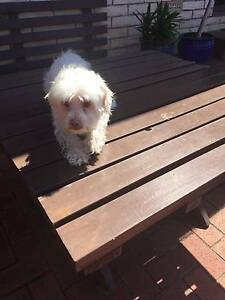 Pet Dog Missing Modbury North Tea Tree Gully Area Preview