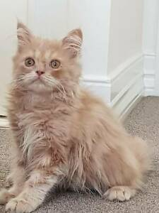 Persian Ginger Male Kitten