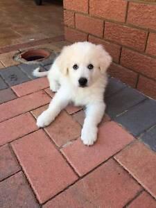 Maremma Purebred Puppy 5 Months old