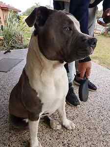 Male Blue/White Amstaff Ashcroft Liverpool Area Preview