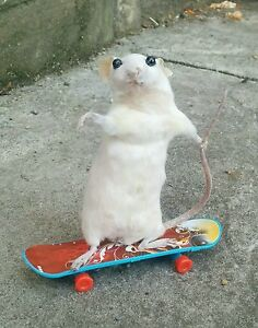 Taxidermy Mouse skateboard Sport Unusual gift  Christmas Pet Cat Skating Curio