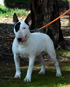 Bullterrier male main pedigree papers ankc