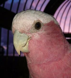 Wanted: Found Pet Galah