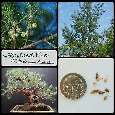 Pine Tree Garden Seeds (20+ AUSTRALIAN PINE TREE SEEDS (Casuarina equisetifolia) Native Bonsai Garden)