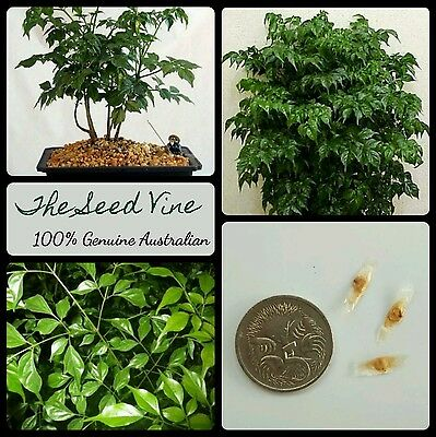 10+ CHINA DOLL TREE SEEDS (Radermachera sinica) Indoor Air Purifier Plant Home