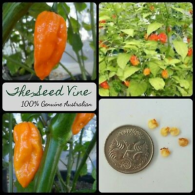 20+ NAGA VIPER ORANGE CHILLI SEEDS (Capsicum chinense) Hot Edible NON-GMO for sale  Shipping to United States