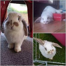 Beautiful minilop rabbit/bunny for sale Oakleigh Monash Area Preview