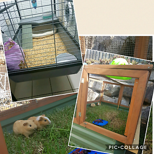 2 x 6mth old female guinea pigs and cage and accessories Narangba Caboolture Area Preview