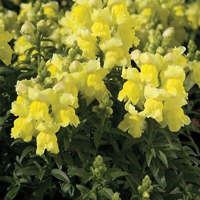 ( Snapdragon dwarf Yellow 200 Seeds organic +gift)