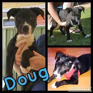 Doug- Staffy X 10 week old male rescue pup Elizabeth Playford Area Preview