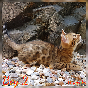 Breeder Quality Bengal Kitten Nerang Gold Coast West Preview