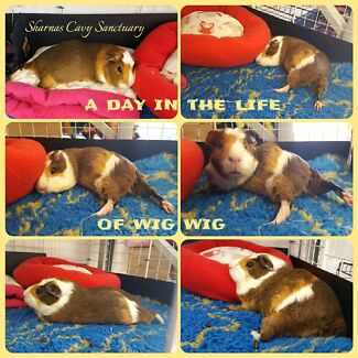 Guinea pigs for adoption Brisbane City Brisbane North West Preview