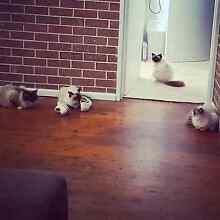 Ragdoll x domestic kittens Winston Hills Parramatta Area Preview