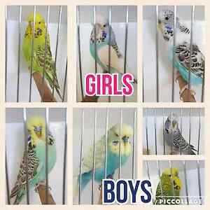 Budgies for sale Temora Temora Area Preview